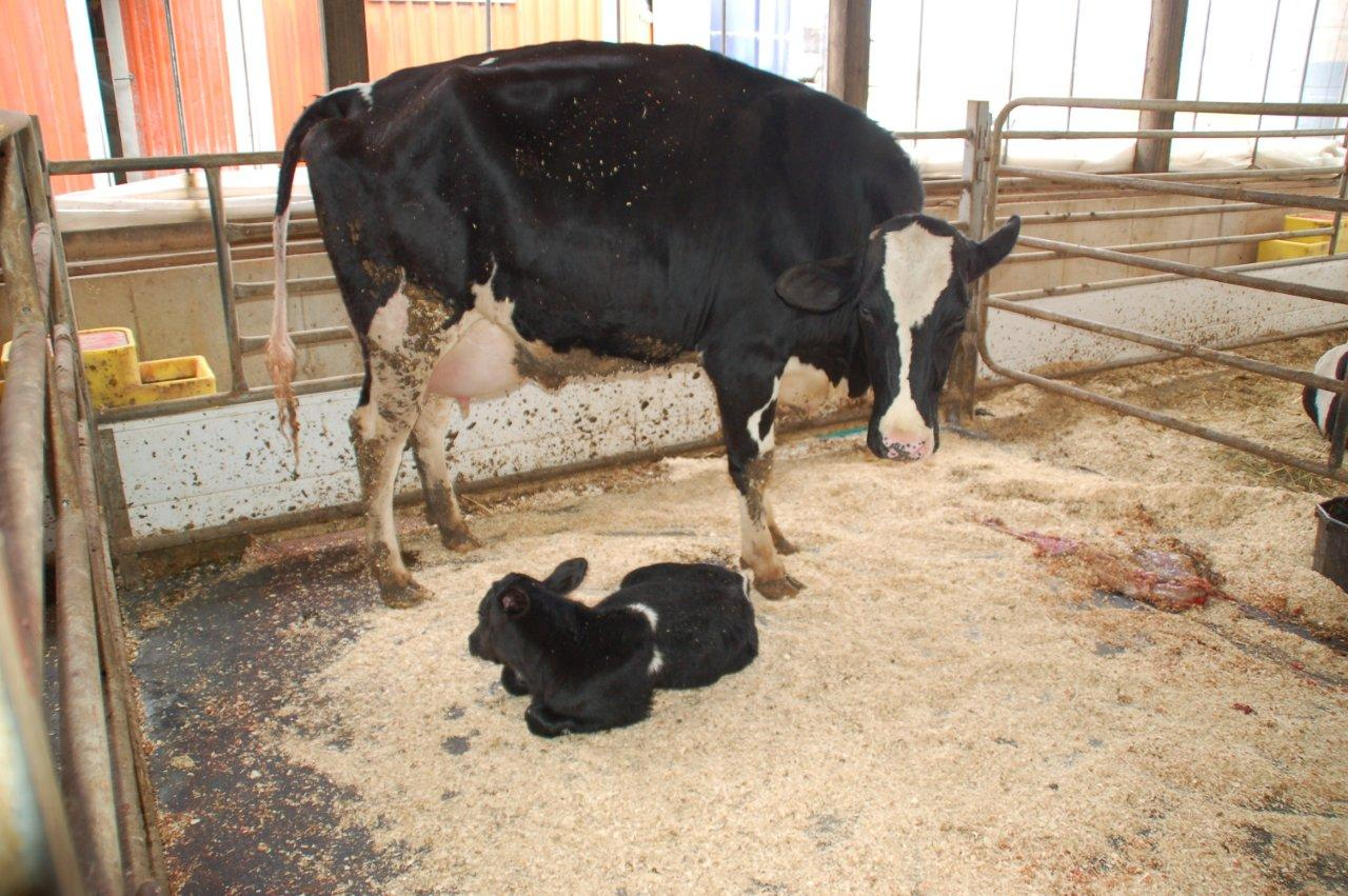 Where It All Begins Solutions To Keeping A Clean Calving